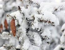 Ветвь ели на снежке Стоковое фото RF