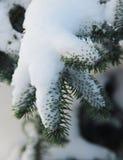 Ветвь ели предусматриванная в снеге Стоковое Изображение