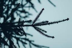 Ветвь ели природы Стоковое Фото