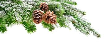 Ветвь ели с снегом и конусами Стоковое Изображение RF