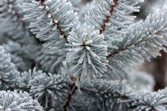 Ветвь ели Стоковое Фото