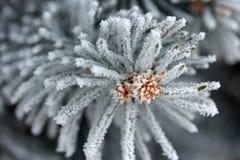Ветвь ели Стоковая Фотография RF