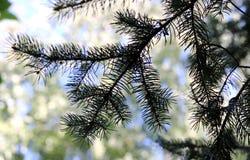 Ветвь ели Стоковые Фото