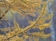 Ветвь ели Стоковое Изображение RF