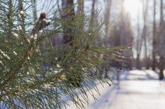 Ветвь ели Стоковое фото RF