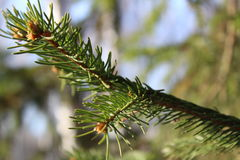 Ветвь ели Стоковая Фотография