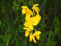 Ветвь желтого вереска подробно Стоковое Фото