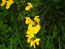 Ветвь желтого вереска при включенное насекомое Стоковые Фото