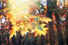Ветвь желтого дуба выходит в лес осени стоковое изображение rf