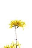Ветвь желтых цветков на белизне Стоковое Фото
