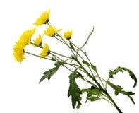 Ветвь желтых цветков хризантемы Стоковая Фотография RF