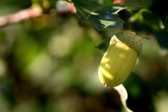 ветвь жолудя Стоковые Фото