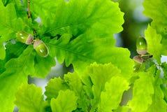 Ветвь жолудя Стоковые Изображения