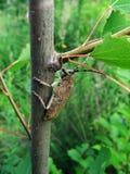 ветвь жука большая Стоковое Изображение