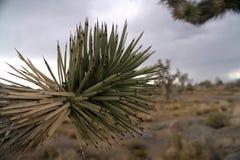 Ветвь завода юкки на предпосылке пустыни стоковые фото