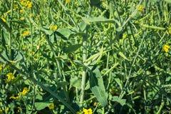 Ветвь заводов рапса на участке в поле, немедленно после цвести стоковая фотография