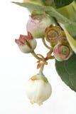 Ветвь завода голубики с цветком голубики Стоковые Фото
