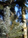 Ветвь замороженной ели на запачканной темной предпосылке леса Стоковое фото RF