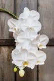 Ветвь зацветая белых цветков орхидеи Стоковая Фотография