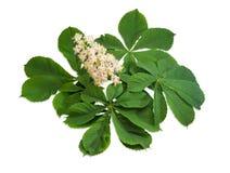 Ветвь зацветая каштанов конских с цветками Стоковое Изображение