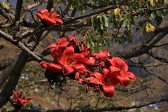 Ветвь зацветая красного дерева хлопка, ceiba bombax Стоковое Изображение RF
