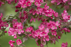 Ветвь зацветая яблони 01 Стоковое Фото