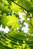 Ветвь зеленого клена с пульсациями воды Стоковое фото RF