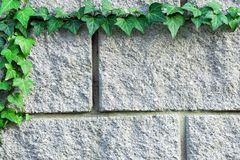Ветвь зеленого плюща сплетенная над серой кирпичной стеной стоковое изображение