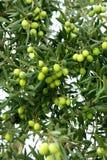 Ветвь зеленых оливок стоковое фото