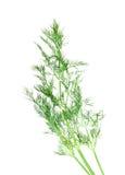 Ветвь зеленого укропа Стоковые Фото