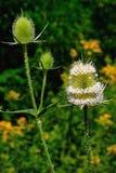 Ветвь зеленого thistle стоковое фото rf