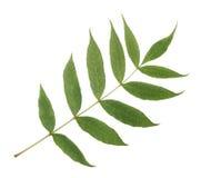 Ветвь зеленой золы Стоковые Изображения