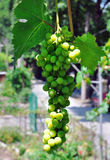 Ветвь зеленых виноградин Стоковое фото RF