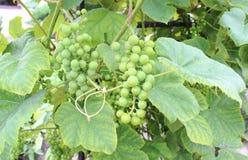 Ветвь зеленых незрелых виноградин Стоковая Фотография