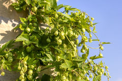 Ветвь зеленых хмелей Стоковая Фотография RF