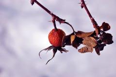 Ветвь зрелых диких розовых ягод и сухих листьев на белой предпосылке стоковое фото