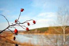 Ветвь зрелых диких розовых ягод на предпосылке голубого неба и луга с озером и кустами стоковая фотография rf
