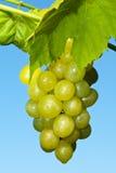 Ветвь зрелых зеленых виноградин Стоковая Фотография RF
