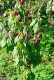 Ветвь зрелого голубого сада слив Стоковые Фотографии RF