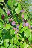 Ветвь зрелого голубого сада слив Стоковая Фотография RF