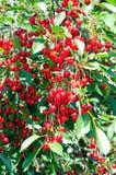 Ветвь зрелой вишни Стоковое Изображение RF