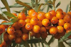 Ветвь зрелых ягод крушины моря Стоковая Фотография