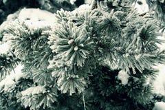 Ветвь игл дерева сосенки листает замороженный конец вверх Стоковая Фотография