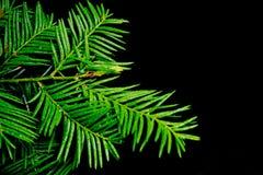 Ветвь игл сосенки Стоковое Фото