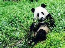 Ветвь игры гигантской панды Стоковые Изображения