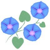 Ветвь ипомея цветка, слава утра также вектор иллюстрации притяжки corel Стоковые Фотографии RF