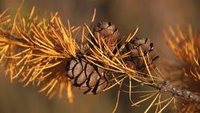 Ветвь лиственницы с конусами сток-видео