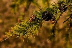 Ветвь лиственницы Стоковое Изображение RF