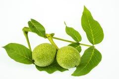 Ветвь листьев грецкого ореха и 2 зеленых плодоовощей изолированных на белом b Стоковая Фотография