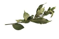 Ветвь лист залива на белой изолированной предпосылке Стоковое фото RF